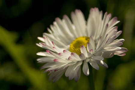 lasted: Bellis perennis Common Daisy, daisy clover, daisy Bellis perennis lasted a beautiful flower