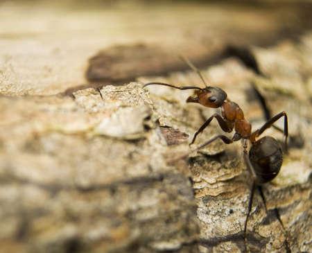 insecta: Formica rufa