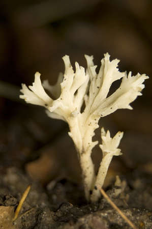 Clavulina coralloides Stock Photo - 8852397