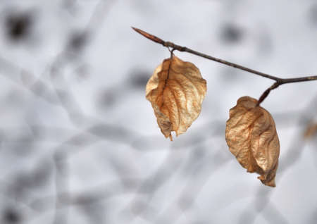 beech branch with leaves in winter photo