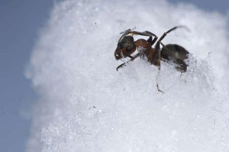 Ant - Formica rufa photo