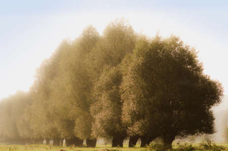 Willows on the Vistula Stock Photo - 8961475