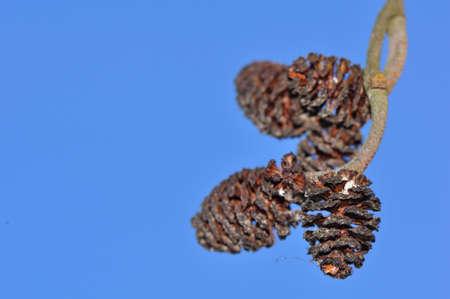 alder: alder cones