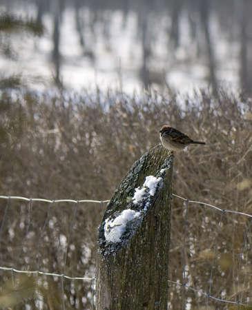 Mazurek, sparrow tree sparrow, grasshopper sparrow, Passer, montanus Stock Photo - 8961512