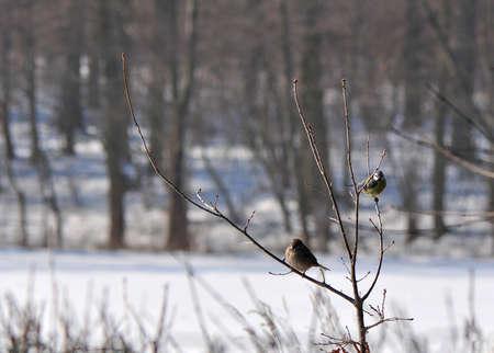 tree sparrow, grasshopper sparrow - Passer montanus and Blue Tit - Cyanistes caeruleus son. Parus caeruleus photo