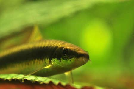 Mower, Grubowarg Siamese - Crossocheilus siamensis Stock Photo - 9020558