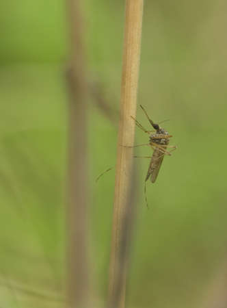Mosquito Stock Photo - 9084280
