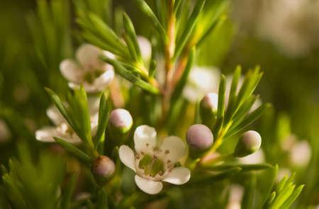 Chamelaucium uncinatum Stock Photo - 9156065