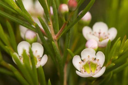 Chamelaucium uncinatum Stock Photo - 9156087