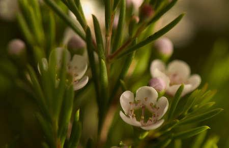 Chamelaucium uncinatum Stock Photo - 9156066