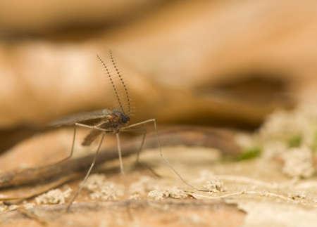 culicidae: Culicidae, Cecidomyiidae Stock Photo