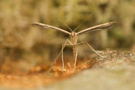 Pterophorus photo