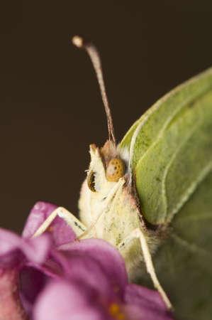 Gonepteryx rhamni Stock Photo - 9232658
