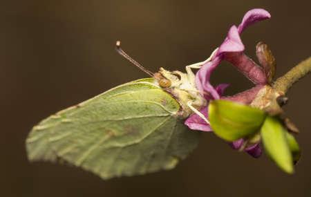 mezereum: Gonepteryx rhamni and Daphne mezereum