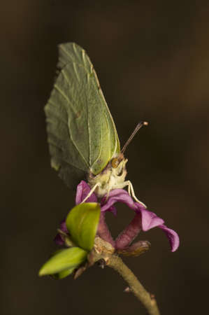 Gonepteryx rhamni and Daphne mezereum photo