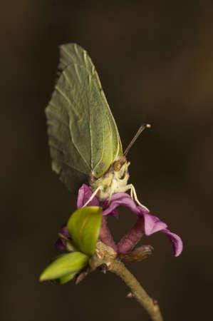 dafne: Gonepteryx rhamni e Daphne mezereum Archivio Fotografico