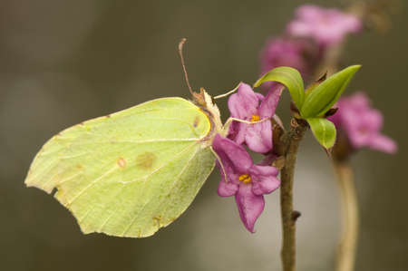 Gonepteryx rhamni and Daphne mezereum Stock Photo - 9232670