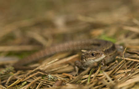 viviparous lizard: Zootoca vivipara Stock Photo