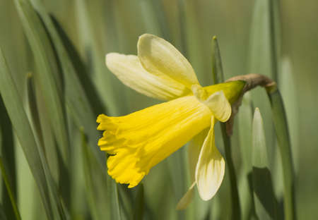 Daffodil Stock Photo - 9275979