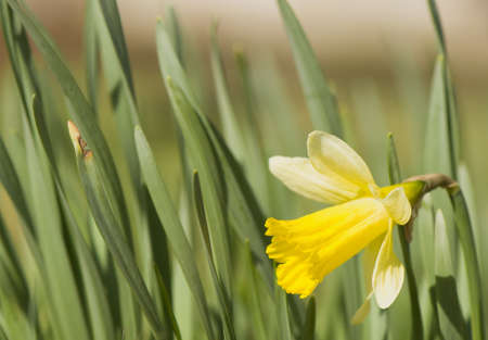 Narcissus Stock Photo - 9275990