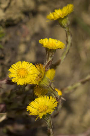 Tussilago farfara Stock Photo - 9275988