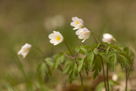Anemone nemorosa Stock Photo - 9334211