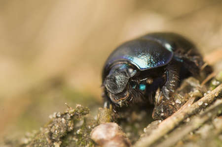 Geotrupes stercorarius Stock Photo - 9334244