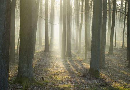 arboleda: Bosque de robles ma�ana