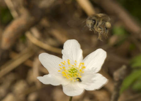 apis: Apis - bee and Anemone
