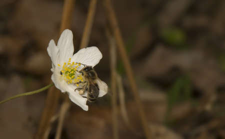 Apis - bee and Anemone photo