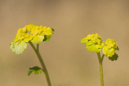 Chrysosplenium alternifolium Stock Photo - 9395634
