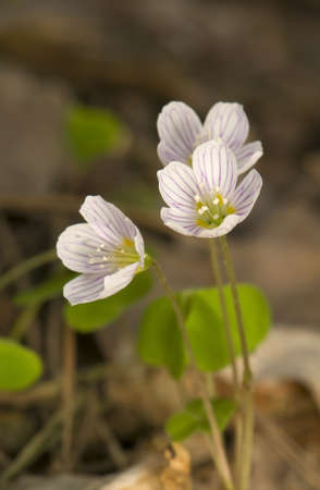 Oxalis acetosella Stock Photo - 9395716