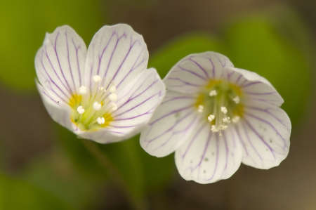 Oxalis acetosella Stock Photo - 9395640