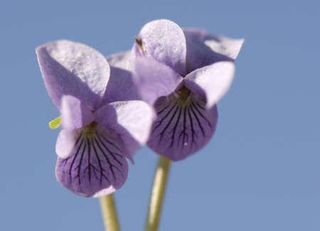 palustris: Viola palustris