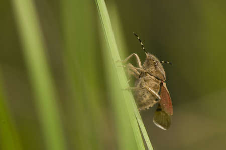 Dolycoris baccarum photo
