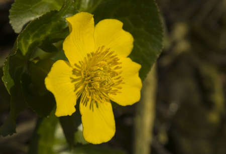 palustris: Caltha palustris Stock Photo