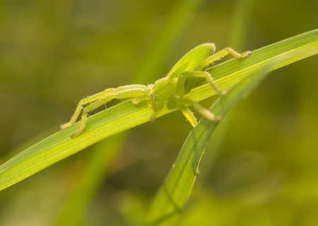 heteropodidae: Micrommata virescens