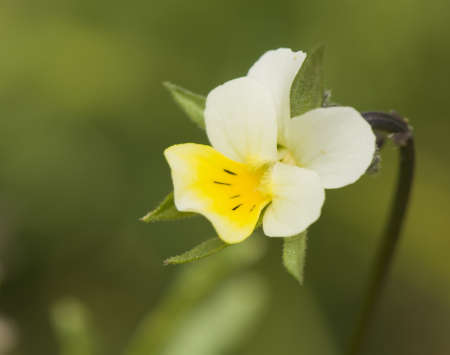 Viola arvensis photo