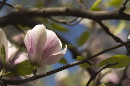 Magnolia Stock Photo - 9448225