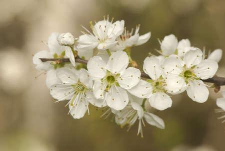 Prunus spinosa Stock Photo - 9448264
