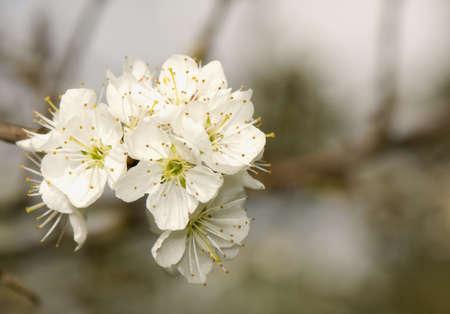 Prunus spinosa Stock Photo - 9448263