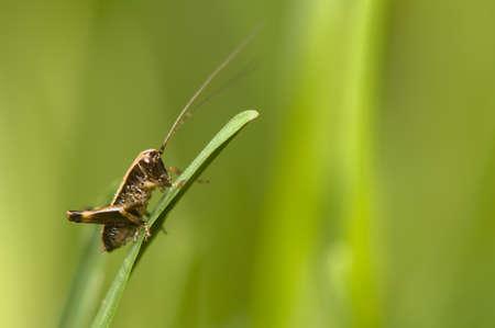 Pholidoptera photo