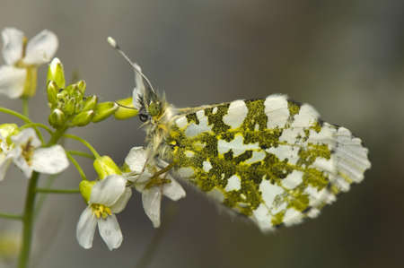 Anthocharis cardamines photo