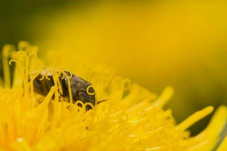 elateridae: Agrypnus murinus