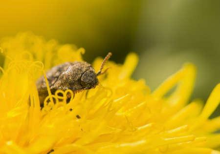 click beetle: Agrypnus murinus