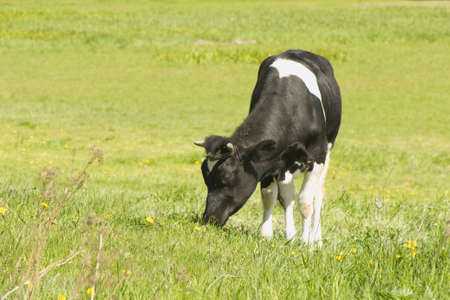 grazing land: Cow