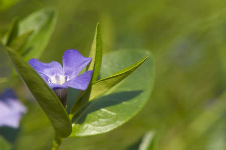 Vinca minor Stock Photo - 9526191