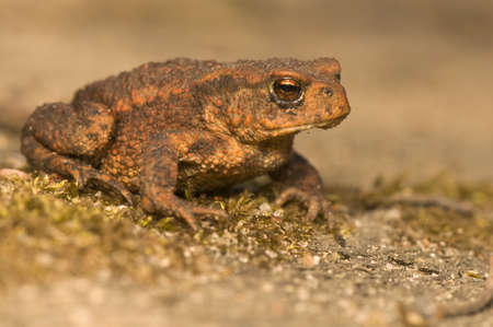 species: Bufo bufo Stock Photo