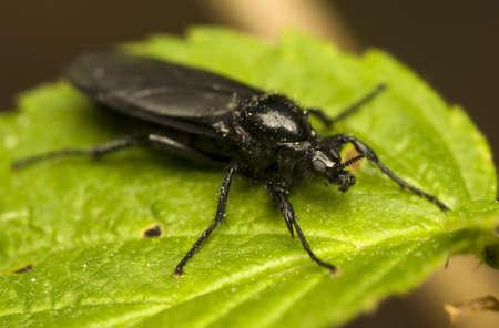 Bibionidae Stock Photo - 9619180