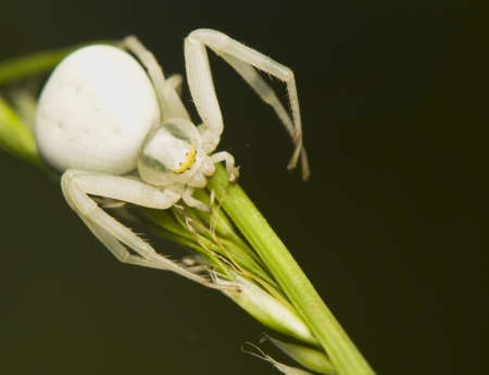 Misumena vatia Stock Photo - 9666041